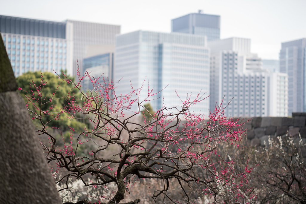 Plum blossoms at the Imperial Palace Garden with Marunouchi skys